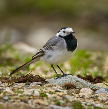 White wagtail (Motacilla alba) on the ground in closeup Banque d'images