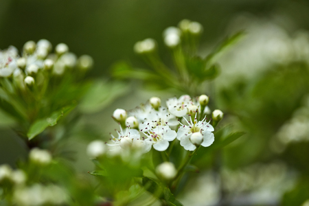 Hawthorn flowers on a bush in the forest