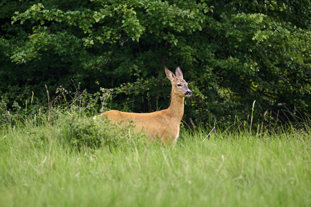 Roe deer at the forest line, looking alert