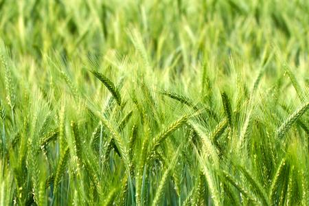 Champ de blé vert au début de l'été