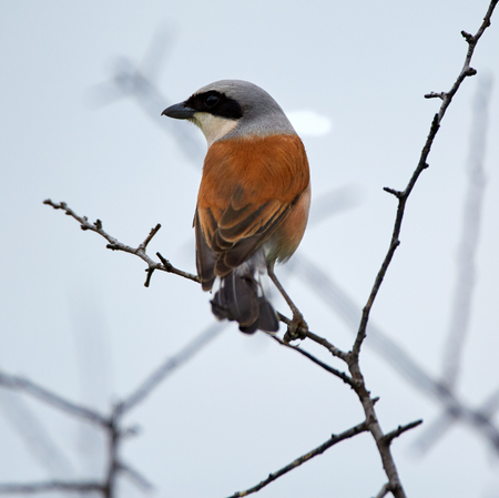 Red-backed shrike (Lanius collurio) perched on a twig in a bush