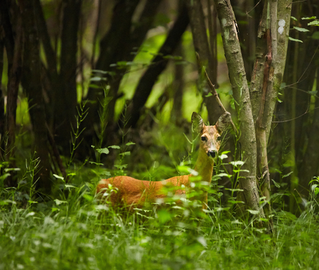 watchful: Roe deer in high grass at the forest line