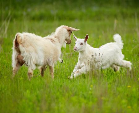 Chèvre bébé blanc sur un pré, jouer dans l'herbe