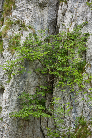 Vegetation growing in the cracks of a limestone mountain wall