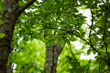 Closeup of beech trees with fresh green leaves