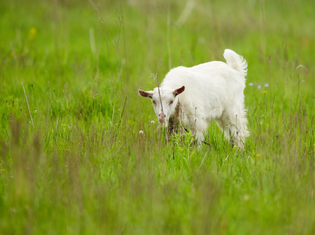 White baby goat on a meadow, playing in the grass