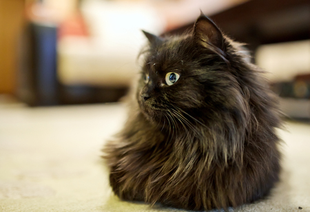 Closeup of a black cat sitting on the carpet