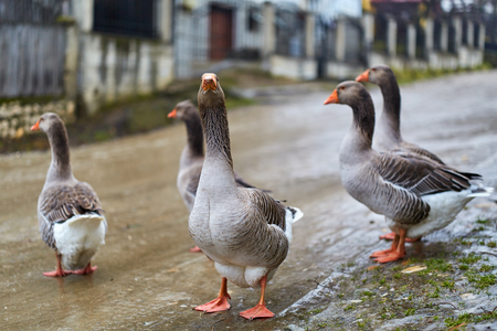 Flock of geese in the countryside