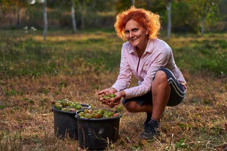 Woman farmer harvesting walnuts in buckets at sunset