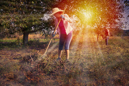 Woman with a rake cleaning below walnut trees in the orchard before harvest