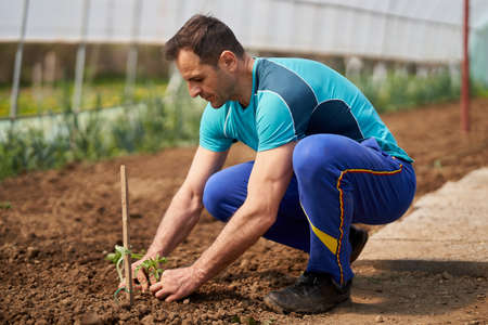 Farmer preparing the soil for planting tomatoes in his hothouse Standard-Bild