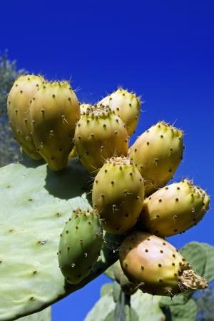 prickly pear Archivio Fotografico