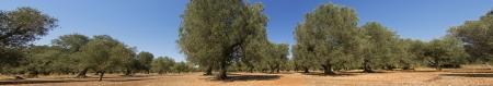 fig tree: panoramic - olive trees Stock Photo