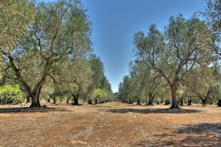 panoramic - olive trees photo