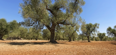 trees with thorns: panoramic - olive trees Stock Photo