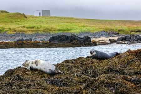 Seals resting in Ytri Tunga beach - iceland
