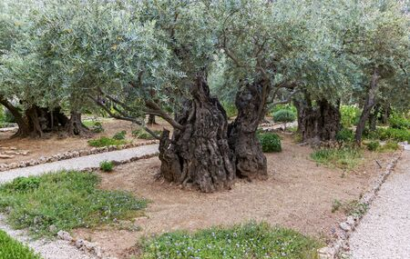 Garden of jerusalem where Jesus prayed before he was captured by Roman soldiers. In Jerusalem Israel. Stock Photo