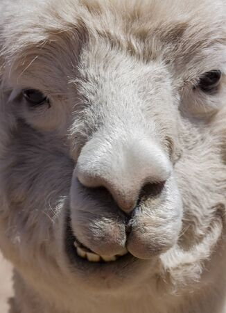 Llama alpaca face neck in Perù
