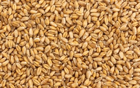 Wheat grains background, seeds texture, top view