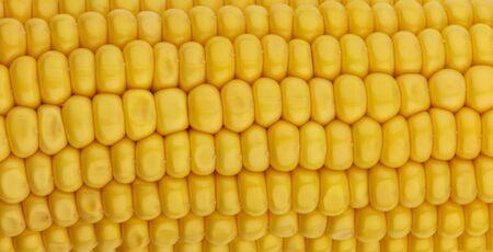 Fresh corn seeds texture, macro, close up of raw yellow corn grains background, pattern