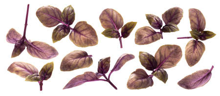 Collection of red basil leaves isolated on white background