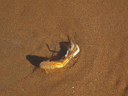 Lobster cub