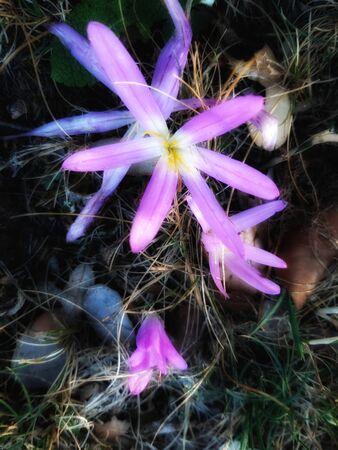 Wild saffron flower Standard-Bild