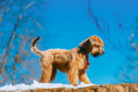 Friendly pedigreed domestic dog walking on snow with bright blue sky in background