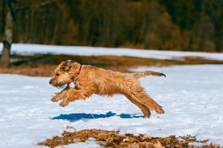 Joyful pedigreed domestic dog jumping on snow with dark forest in background