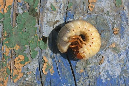 유충은 오래 된 나무 판자에 딱정벌레 수 있습니다