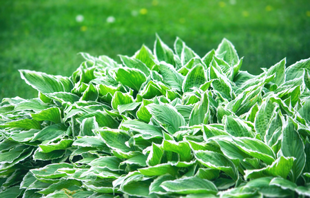 Hosta, garden ornamental plant closeup, border at the park, outdoors Stock Photo