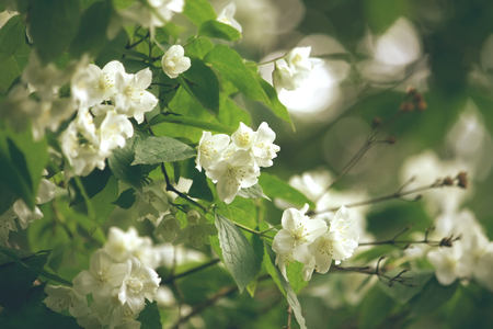 Bush of blossoming jasmine, summer time, selective soft focus, retro style Stock Photo
