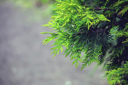 background with branches arborvitae, thuja evergreen tree, cypress border, natural ornament, selective focus
