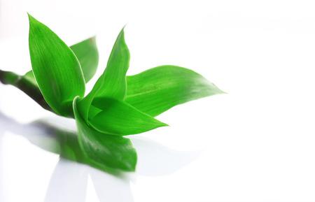 Plant Callisia fragrans on white background, isolated, closeup Stock Photo