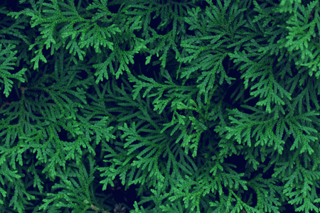 dark abstract background with green cypress branches close-up