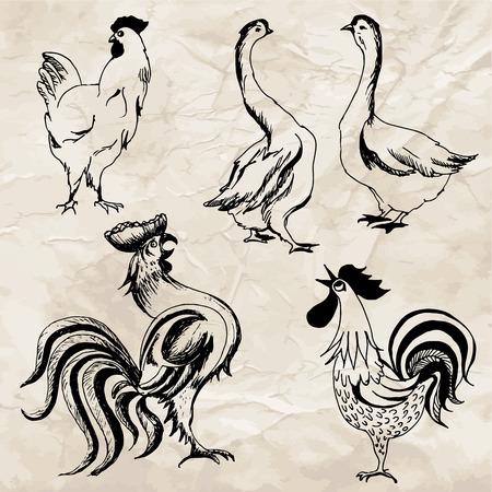 gallo: Dibujado a mano ilustraciones de aves. Dibujos de gallo, gallina, pato y pollo en el papel viejo. Vector Set.