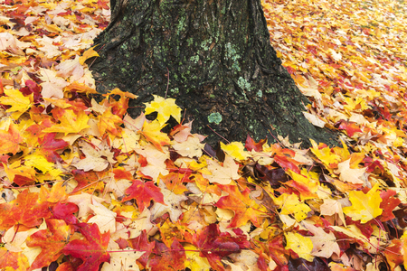 Fallen maple leaves carpet the ground on a crisp autumn day. Stock Photo