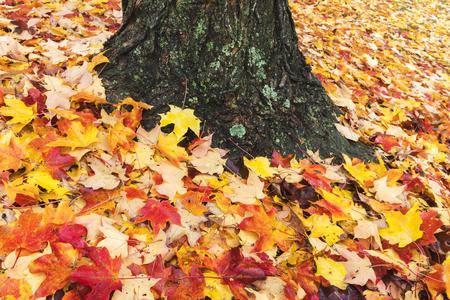 gaithersburg: Fallen maple leaves carpet the ground on a crisp autumn day. Stock Photo