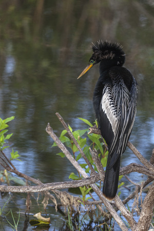 Everglades national park: Anhinga, also known as snakebird, perched on a branch watching for prey at Everglades National Park, Florida.