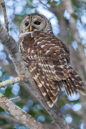 Everglades national park: A barred owl perched in a tree in the Everglades National Park