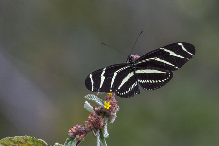 longwing: Longwing zebra butterfly feeding on wildflowers in Everglades National Park, Florida. Stock Photo