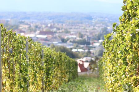 Green vineyard with a town in the background. Winemaking in a temperate zone. Households and farm land. Alcohol production from fruit juice. Traditional farming. Regional features of agriculture. Stock Photo