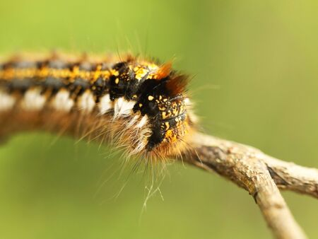 Macro shot of a shaggy larva of a multi-colored caterpillar crawling on a tree branch on a blurred green background. Future butterfly. The beautiful world of insects under the microscope. Pests