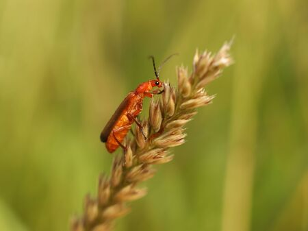 The insect sits on a wheat spikelet. Macro with blurry background. Pest control crop. Pollination of plants with flowers. Flora and fauna of the temperate region. Natural History and the School