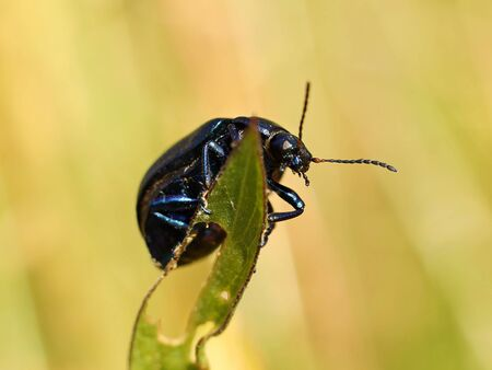 The black insect sits on a wheat spikelet. Macro with blurry background. Pest control crop. Pollination of plants with flowers. Flora and fauna of the temperate region. Natural History and the School