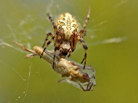 Une araignée mange sa proie empêtrée dans une toile. Sauterelle empêtrée dans les réseaux d'un insecte prédateur. Chasse pour la nourriture. Habitants toxiques de la faune en macrophotographie. La lutte pour la vie Banque d'images
