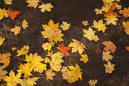 Fallen yellow leaves lie on the ground on a sunny, clear day. Change of seasons. Calm time to summarize efforts and harvest. Solemn mood. Wilting nature. An abundance of warm colors. Fiery colors.