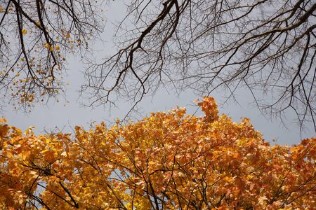 Yellowed foliage on autumn trees on a sunny clear day. Change of seasons. Calm time to summarize efforts and harvest. Solemn mood. Wilting nature. An abundance of warm colors. Fiery colors. Banco de Imagens