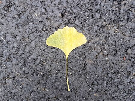A single yellowed sheet of Gingobiloba lies on the new black asphalt. Autumn fallen leaves. Japanese flora on a black background. Postcard and banner with space for an inscription. Archivio Fotografico