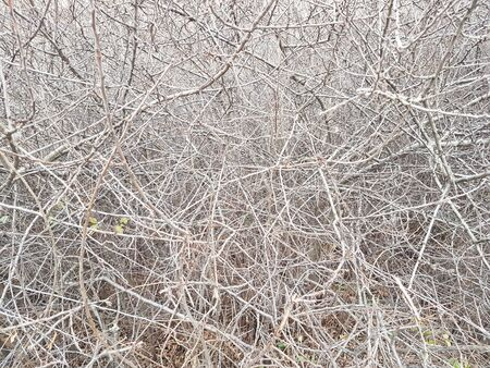Deaf thickets of shrubs. Texture and background of gray dry branches. Impassable slums of wood. Natural fencing. Stock Photo
